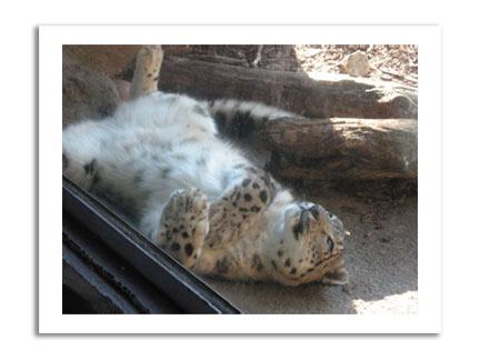 snowleopard4.jpg